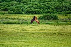 Stormborns (CoreForce) Tags: pony horse norurlandeystra island