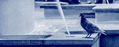 Pigeon (Ennev) Tags: park mileend k3 canada k3ii montreal bird bw pentax urban 2016 water birds pentaxk3ii september fountain