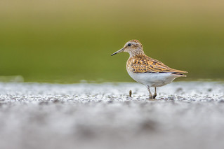 Least of all the Sandpipers...