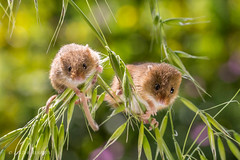 Do you think she can see us? (Linda Martin Photography) Tags: micromysminutus harvestmouse wildlife canon5dmarklll uk nature coth