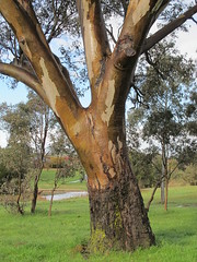 Wet bark on a gum tree (troggonk) Tags: ginnderra creek act sept 2016 ngunnawal gungahlin water erosion maintenance