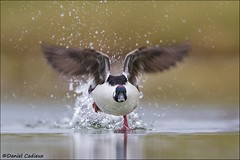 Bufflehead Running Take-off (Daniel Cadieux) Tags: bufflehead drake male run running runningonwater takeoff splash splahing pond marsh ottawa