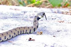 Grass snake , Natrix natrix (9) (Geckoo76) Tags: grasssnake snake natrixnatrix