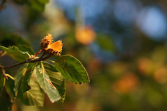 Fall is coming (FlexFrequency) Tags: buche buchecker herbst
