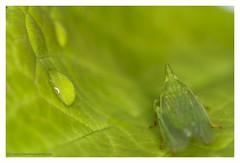 It's all green to me (s1nano) Tags: nikontc200 nissinmf18 tamron90mmspmacrof25 green nature macro macrodreams bug insect nikond7000 nissinmf18ringflash tamronadaptall2sp90mmf25 manualfocuslens oldmacrolens drop drops waterdrops leaf minimal minimalism