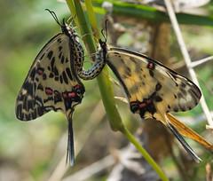 Sericinus montela (mishko2007) Tags: sericinusmontela dragonswallowtail korea 105mmf28