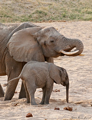 A life lesson  2805 (Bonnieg2010) Tags: africanelephant elephant motherelephantandbaby teachinghowtogetwater wild animal nature ruahanationalpark tanzania bonniegrzesiak africa safari
