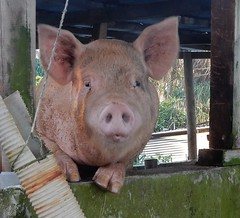 Inquisitive Pig (mikecogh) Tags: tuvalu funafuti pig hoofs inquisitive curious cute ears snout friendly