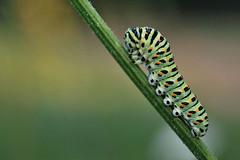 Pääsusaba; Papilio machaon; Swallowtail (urmas ojango) Tags: lepidoptera liblikalised insecta putukad insects caterpillar röövik ratsulibliklased papilionidae pääsusaba papiliomachaon swallowtail