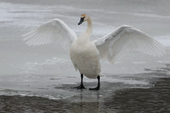 Swan Stretch_40839.jpg (Mully410 * Images) Tags: winter snow cold bird ice birds swan wings birding stretch birdwatching birder trumpeterswan minnesotariver burdr mrvnwr minnesotarivervalleynationalwildliferefuge