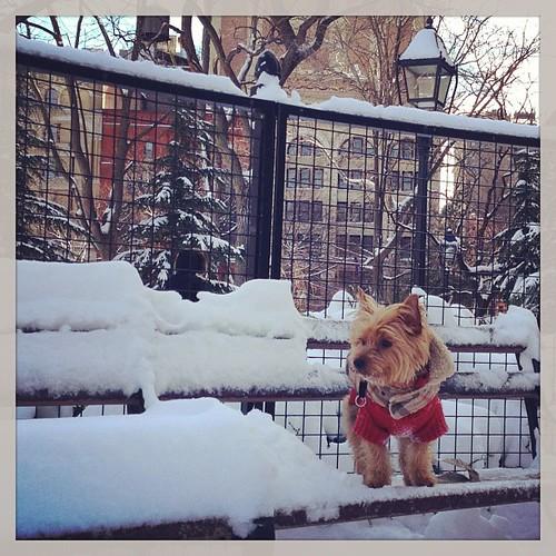 Making #snow yellow. #nemo #dogs #yorkie