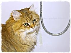 Drophunter (LETHO 2706) Tags: sunshine cat schweiz wasser swiss hunter katze bella badewanne wassertropfen swizerland jger tempy gerlafingen photgraphyartbysnech drophunter