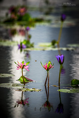 Singapore / Nymphaea [Explore #69 - 12. Feb. 2013] (Romeo Heger) Tags: singapore bees waterlilies bayfront 2013 artsciencemuseum