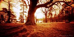 Tree Tuesday -  Oak tree in redscale (ShimmeringGrains) Tags: trees tree film analog mediumformat landscape pinhole 120film scanned oaktree treeroots oaktrees pinholephotography scannad c41 redscale redscalefilm mellanformat treesdiestandingup holga120wpc lomographyredscale100 c41homeprocessed c41diy