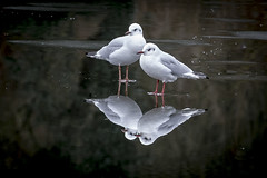 Perspective changes everything (Gies!) Tags: two seagulls bird ice water reflections perspective change meeuwen twee ijs reflectie