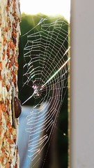 Cobweb (AfroEklund) Tags: morning sun garden spider garage cobweb shinning my nikonp510 uploaded:by=flickrmobile flickriosapp:filter=nofilter