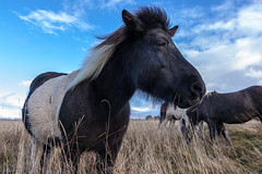 Wild Horses (mic-pic) Tags: horse countryside feld eifel pferd