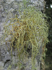 Usnea sp. found on the Bangalow Palms west of the house (imbala) Tags: lichen australiannative arfp usneasp australianrainforestplants wilsonscreeknsw regeneratingrainforest nswrfp qrfp arflichen nswrflichen qrflichen fruticosearflichen
