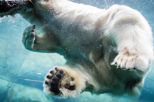 Polar Bear from below