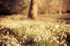 Belton Snowdrops (Nick P Lee) Tags: flowers spring nikon snowdrops february nationaltrust beltonhouse 2013 nicklee d7000