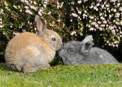 Baby Bunnies Need Some Love (J Bespoy) Tags: two baby brown canada cute rabbit bunny bunnies grey nikon kissing babies bc britishcolumbia small young siblings richmond relocation noses rabbits feral tc14eii richmondautomall coth allrightsreserved goldwildlife d300s coth5 nikkor70200f28vrii blinkagain richmondautomallcaresfund preciouslifeanimalsanctuary