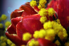 Profumo prezioso #1 (Celeste Messina) Tags: flowers light red macro texture yellow photography photo nikon focus perfume bokeh drop giallo tulip fiori mimosa rosso luce celeste tulipano goccia 8marzo profumo festadelladonna d5000