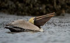 Brown Pelican, Gulp (andysj531) Tags: brown florida pelican gulp occidentalis pelecanus