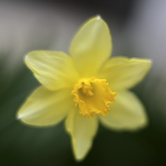 Daffodil (joka2000) Tags: flower macro green yellow garden spring dof background daffodil planar