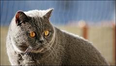 Eddy, the rebel (tor-falke) Tags: animal animals cat hair chat domestic short british katze haustier britishshorthair bkh hauskatze britischkurzhaar torfalke flickrtorfalke