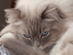 Enjoy Your Day!!! (JacquiTnature) Tags: cat fur relax kitten feline doll ali rest ragdoll domesticcat felisdomestica jacquit