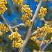 Vernal Witch-hazel  (Hamamelis vernalis) in bud