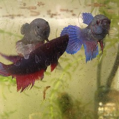 fish betta pets aquarium pet instagram