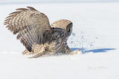 The Silent Strike (Bryan O'Toole) Tags: ontario canada bird gg nikon wildlife greatgreyowl owl majestic birdofprey northernontario algoma greatgrey stjosephisland nikond7000 nikonafs70200vrf28