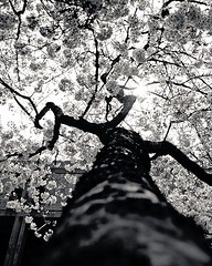springtime cherry tree blossoms #4 (ucsc) (santa cruz) (zimway2k) Tags: california santa flowers trees bw white black flower tree cherry university library cruz cherryblossom sakura cherryblossoms uc hanami scruz mchenry 2013