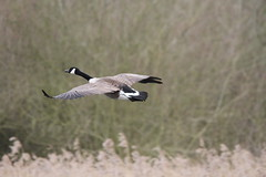 Canada Goose 001 (cwoodend..........Thanks) Tags: goose canadagoose brandonmarsh carltonhide