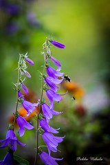 Easter Greetings (pekka.nikula) Tags: flower easter bumblebee mkki kukkia greatphotographers
