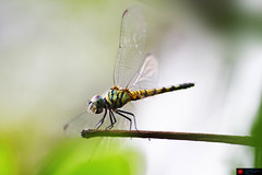 Dragonfly (samitsinha) Tags: samit