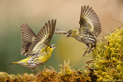 Siskins (izzy's-photos) Tags: garden fight hide argue siskins specanimal wwwwestwalesbirdphotographyhidecouk