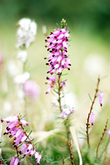 the sound of the breeze blowing through the heather... (ggcphoto) Tags: pink ireland flower nature horizontal closeup outdoors photography 50mm leaf stem day heather softness nopeople freshness blooming inbloom fragility colourimage sonyalpha differentialfocus