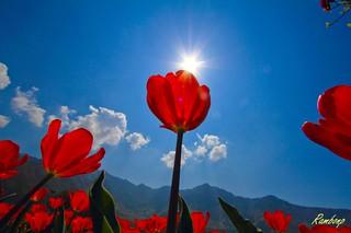 Tulip Garden Srinagar !!!