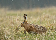 Brown-hare_9155 (Peter Warne-Epping Forest) Tags: uk canon march wildlife breeding mammals behaviour brownhare lepuseuropaeus naturesharmony
