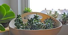 IMG_0866 (Snow Merlin) Tags: cactus plants plant window cacti garden succulent gardening plymouth indoor haworthia kalanchoe windowsill succulents crassula echeveria thrysiflora perforata pelusida