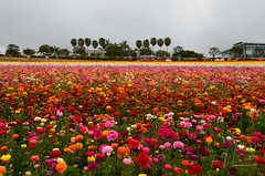 Flower Fields (Mine Beyaz) Tags: california flowers red flower color yellow colorful sandiego carlsbad sari flowerfields orang kirmizi cicek cicekler turuncu