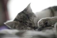 Enzo (Adam Kennedy Photography) Tags: pet sunlight cat 50mm nikon focus kitten dof bright bokeh small enzo f18 adamkennedy d7000