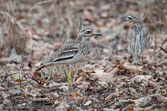Pench-7498.jpg (jc_on_vacation) Tags: india birds animals asia places pench thickknees eurasianthickknee