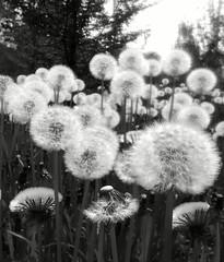 smartphone fiori fiore bianco nero... (Photo: francesco (omino del vento)2 on Flickr)