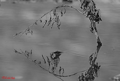 B&W  N1 (Adel Hilal عادل الهلال) Tags: في الحبيبه المملكه انعكاس اسود جنوب منطقه ابيض الباحه مدينه انعكاسات تجريد اغصان تمسى القرنطه