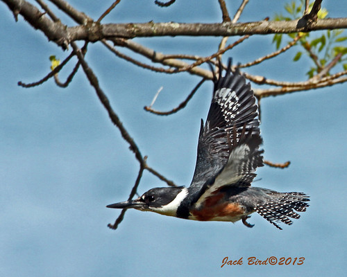 Male Belted Kingfisher By Jack Bird