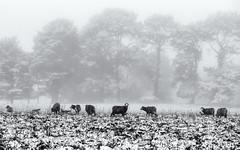 Ewes and lambs in snow (Rachel-G) Tags: blackandwhite snow sheep australia merino lamb livestock countrylife ewe