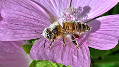 Mother Nature's Pollinator (tsbl2000) Tags: bee pollen summer nikond810 tamron90mmmacro